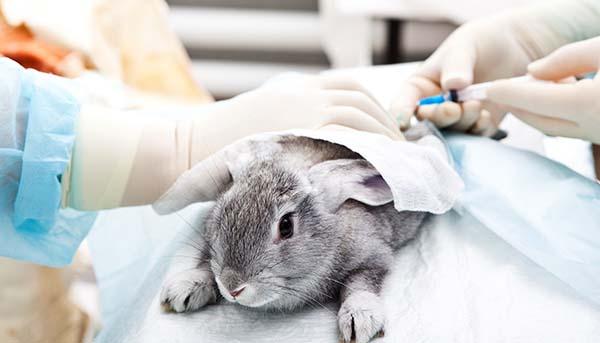 conejo en laboratorio